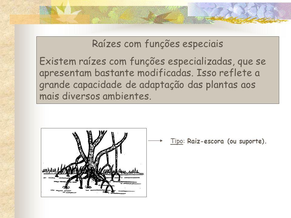 Raízes com funções especiais Existem raízes com funções especializadas, que se apresentam bastante modificadas.