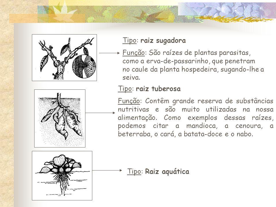 Tipo: raiz sugadora Função: São raízes de plantas parasitas, como a erva-de-passarinho, que penetram no caule da planta hospedeira, sugando-lhe a seiva.