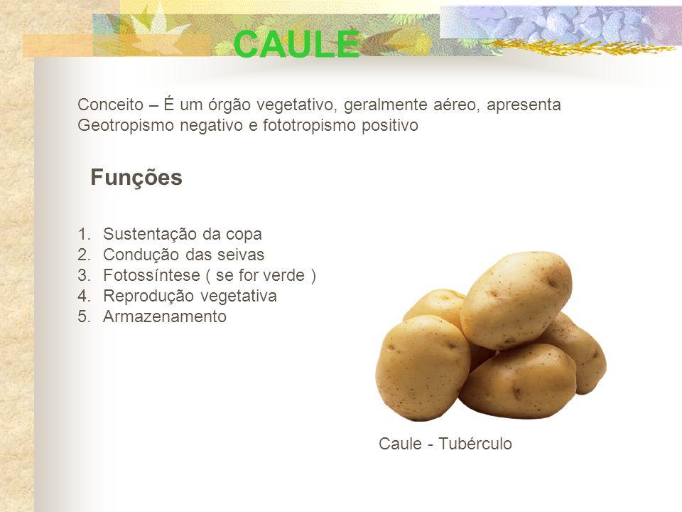 CAULE Conceito – É um órgão vegetativo, geralmente aéreo, apresenta Geotropismo negativo e fototropismo positivo Funções 1.Sustentação da copa 2.Condução das seivas 3.Fotossíntese ( se for verde ) 4.Reprodução vegetativa 5.Armazenamento Caule - Tubérculo
