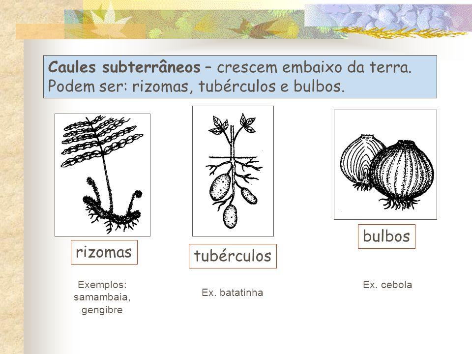 Caules subterrâneos – crescem embaixo da terra.Podem ser: rizomas, tubérculos e bulbos.