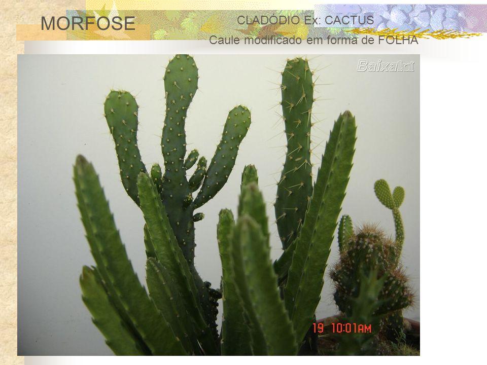 MORFOSE CLADÓDIO Ex: CACTUS Caule modificado em forma de FOLHA