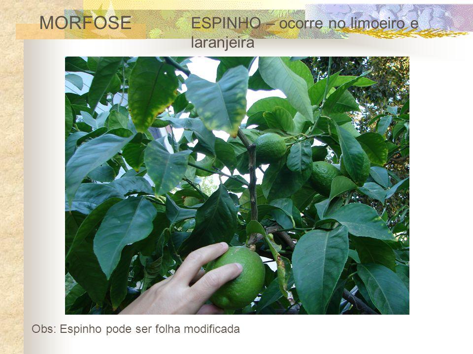 MORFOSE ESPINHO – ocorre no limoeiro e laranjeira Obs: Espinho pode ser folha modificada