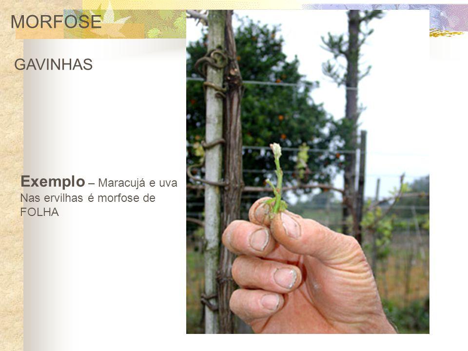 MORFOSE GAVINHAS Exemplo – Maracujá e uva Nas ervilhas é morfose de FOLHA
