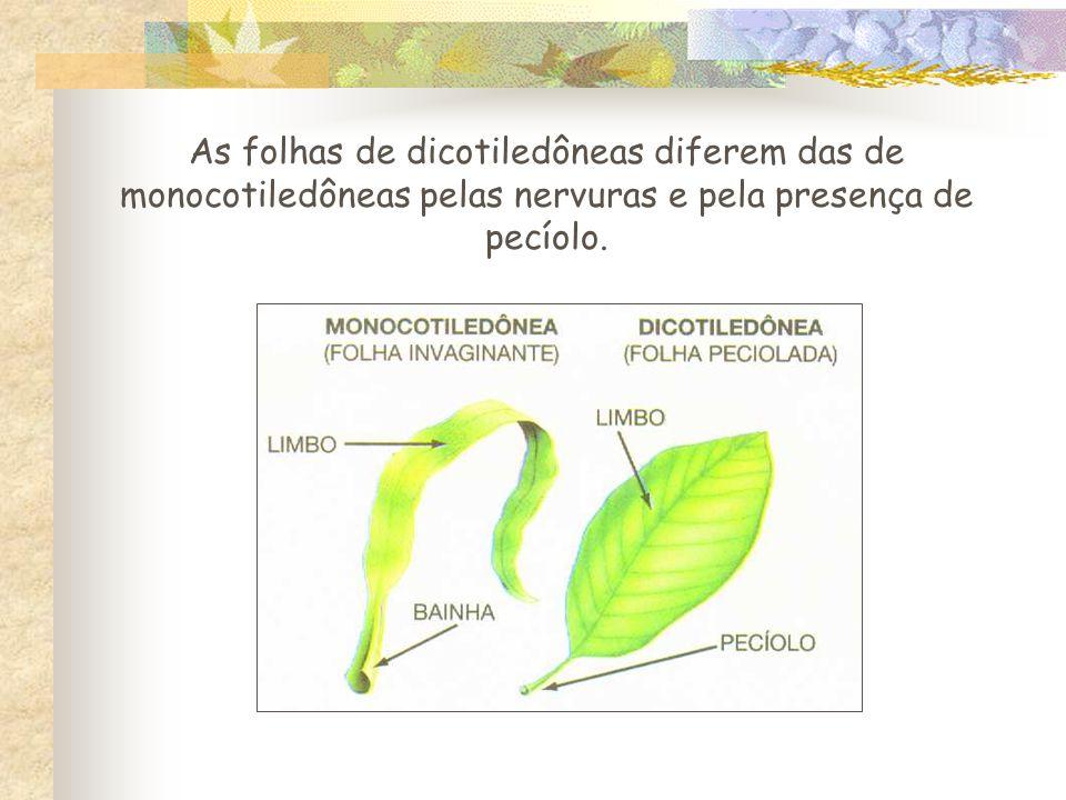 As folhas de dicotiledôneas diferem das de monocotiledôneas pelas nervuras e pela presença de pecíolo.