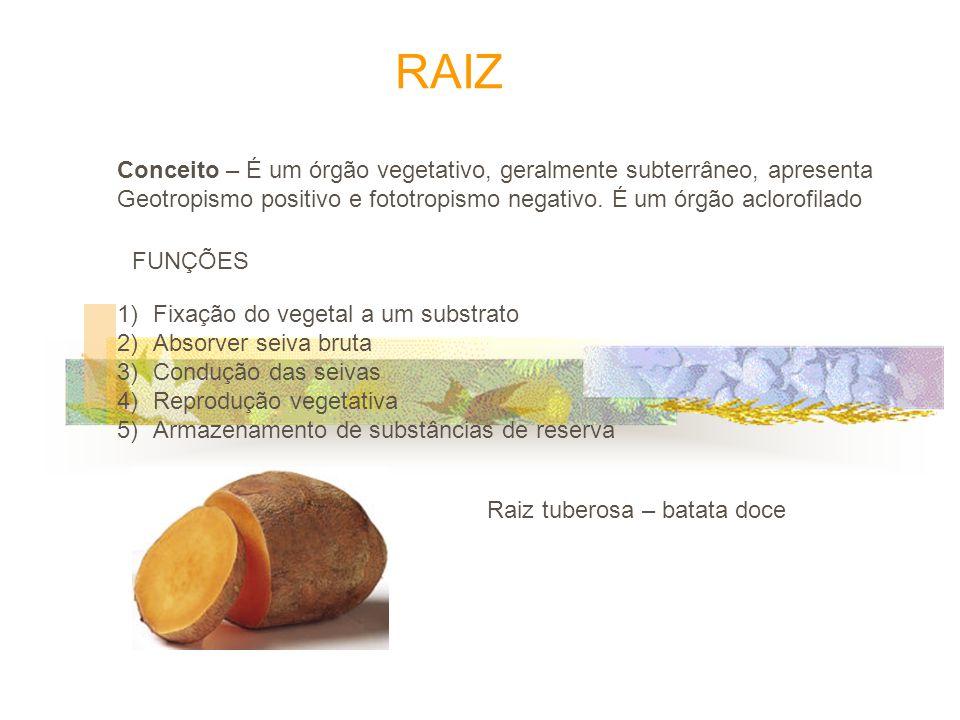 4) Raiz Escora Plantas do mangue Ex: Avicenia FUNÇÃO aumentar Estabilidade do vegetal