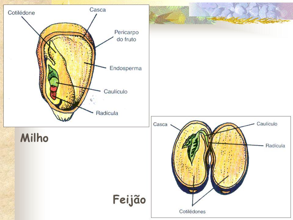 Feijão Milho