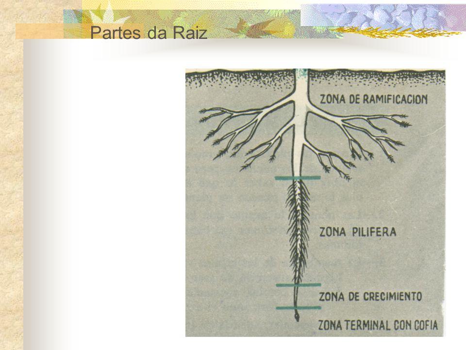 Caules rastejantes: desenvolvem-se horizontalmente em relação ao solo, isto é, estendem-se pelo chão.