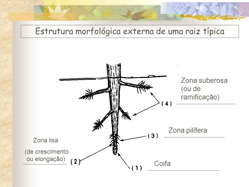 Coifa Zona lisa (de crescimento ou elongação) Zona pilífera Zona suberosa (ou de ramificação) Estrutura morfológica externa de uma raiz típica