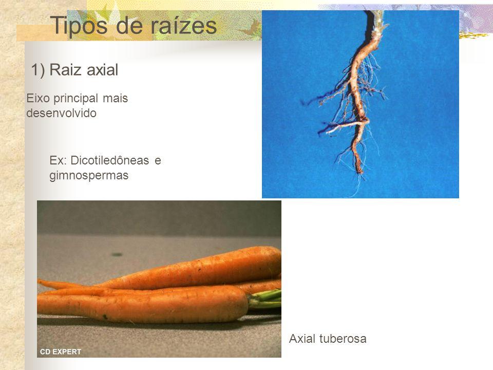Tipos de raízes 1) Raiz axial Axial tuberosa Eixo principal mais desenvolvido Ex: Dicotiledôneas e gimnospermas