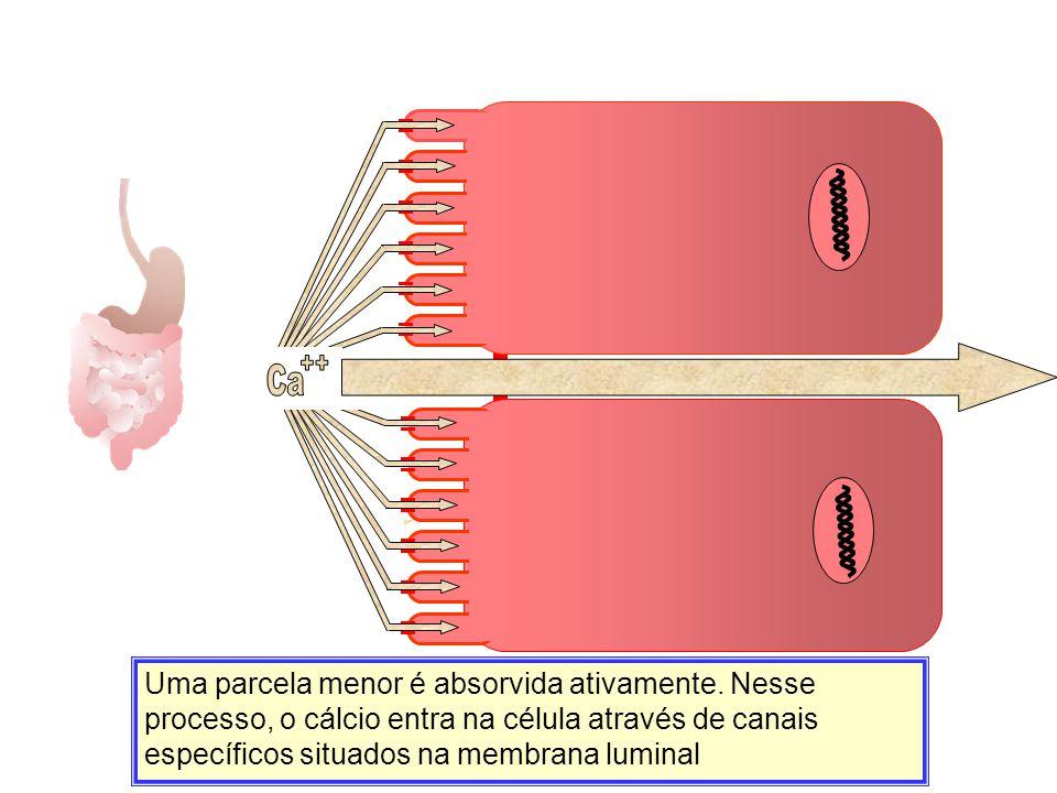 Uma parcela menor é absorvida ativamente. Nesse processo, o cálcio entra na célula através de canais específicos situados na membrana luminal