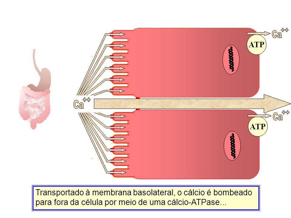 Transportado à membrana basolateral, o cálcio é bombeado para fora da célula por meio de uma cálcio-ATPase... Ca ATP Ca