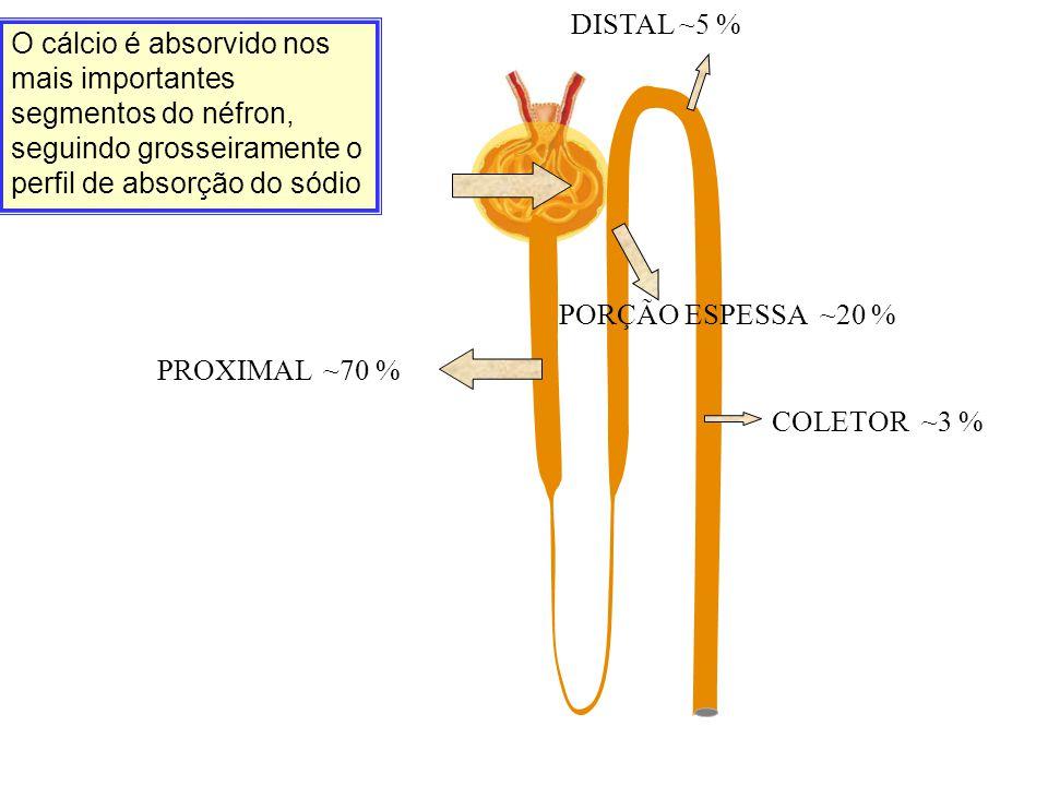 O cálcio é absorvido nos mais importantes segmentos do néfron, seguindo grosseiramente o perfil de absorção do sódio PROXIMAL ~70 % PORÇÃO ESPESSA ~20