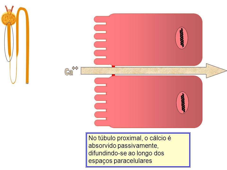 Ca Filtração 10.000 mg/dia No túbulo proximal, o cálcio é absorvido passivamente, difundindo-se ao longo dos espaços paracelulares