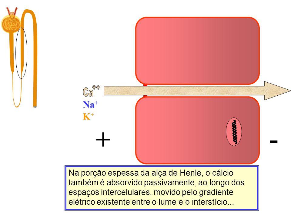 Ca Filtração 10.000 mg/dia Na porção espessa da alça de Henle, o cálcio também é absorvido passivamente, ao longo dos espaços intercelulares, movido p
