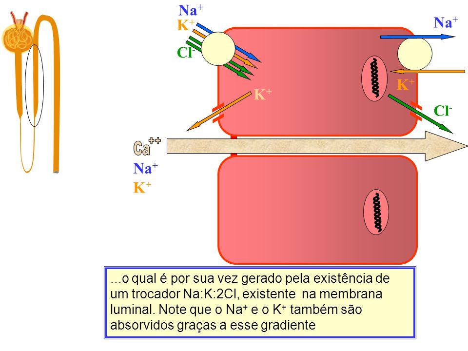 Ca Filtração 10.000 mg/dia...o qual é por sua vez gerado pela existência de um trocador Na:K:2Cl, existente na membrana luminal. Note que o Na + e o K