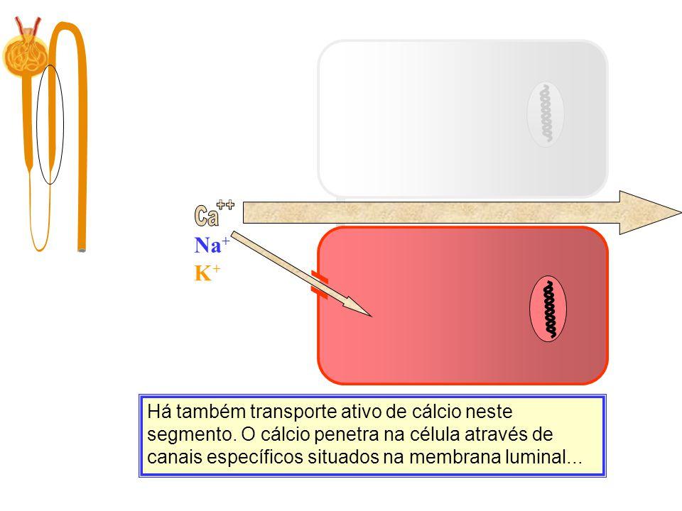 Ca Filtração 10.000 mg/dia Há também transporte ativo de cálcio neste segmento. O cálcio penetra na célula através de canais específicos situados na m