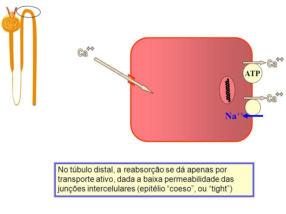 Filtração 10.000 mg/dia No túbulo distal, a reabsorção se dá apenas por transporte ativo, dada a baixa permeabilidade das junções intercelulares (epit