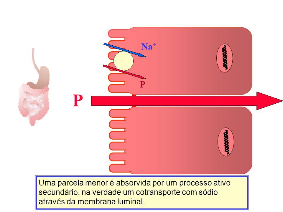 Uma parcela menor é absorvida por um processo ativo secundário, na verdade um cotransporte com sódio através da membrana luminal. P Na + P