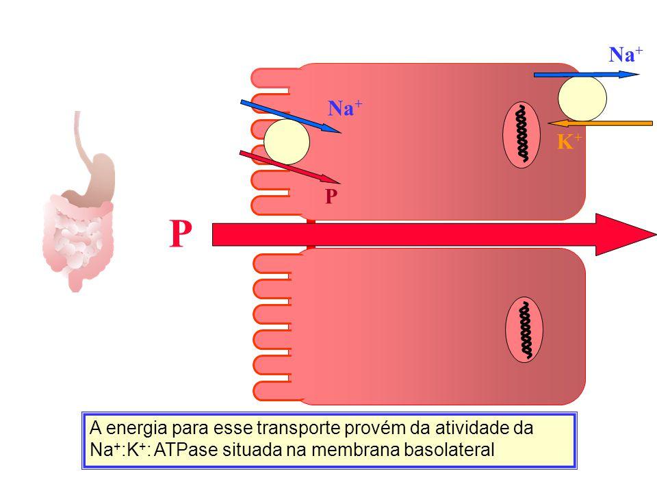 A energia para esse transporte provém da atividade da Na + :K + : ATPase situada na membrana basolateral P K+K+ Na + P