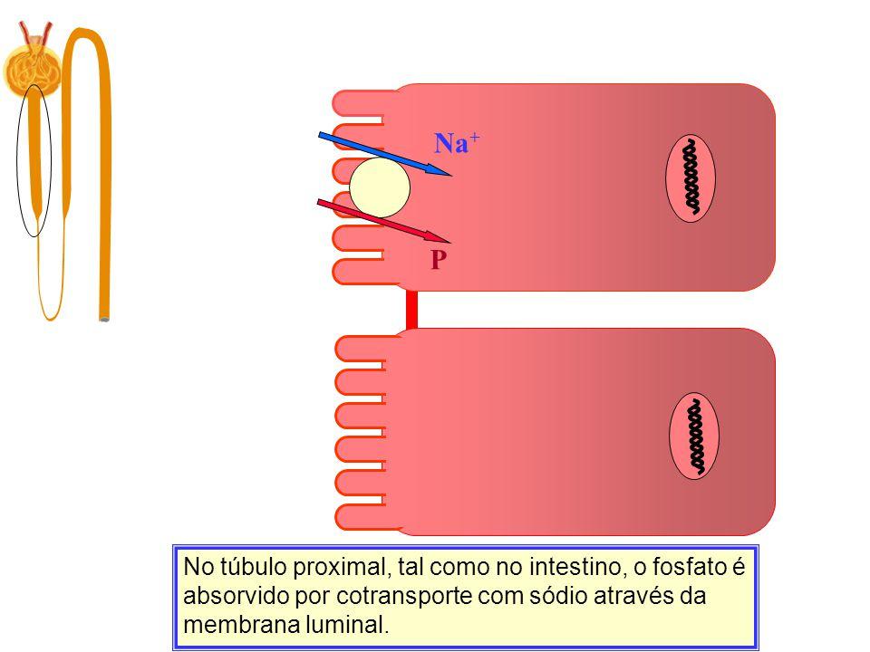 Na + P No túbulo proximal, tal como no intestino, o fosfato é absorvido por cotransporte com sódio através da membrana luminal.