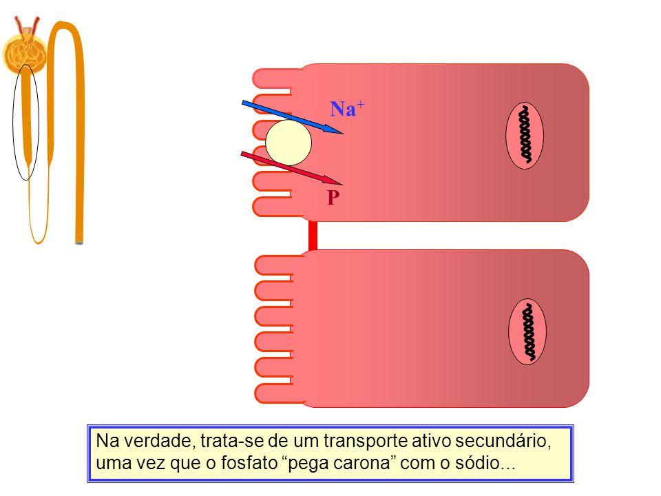 """Na + P Na verdade, trata-se de um transporte ativo secundário, uma vez que o fosfato """"pega carona"""" com o sódio..."""