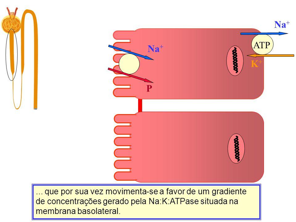 K+K+ Na + P... que por sua vez movimenta-se a favor de um gradiente de concentrações gerado pela Na:K:ATPase situada na membrana basolateral. ATP