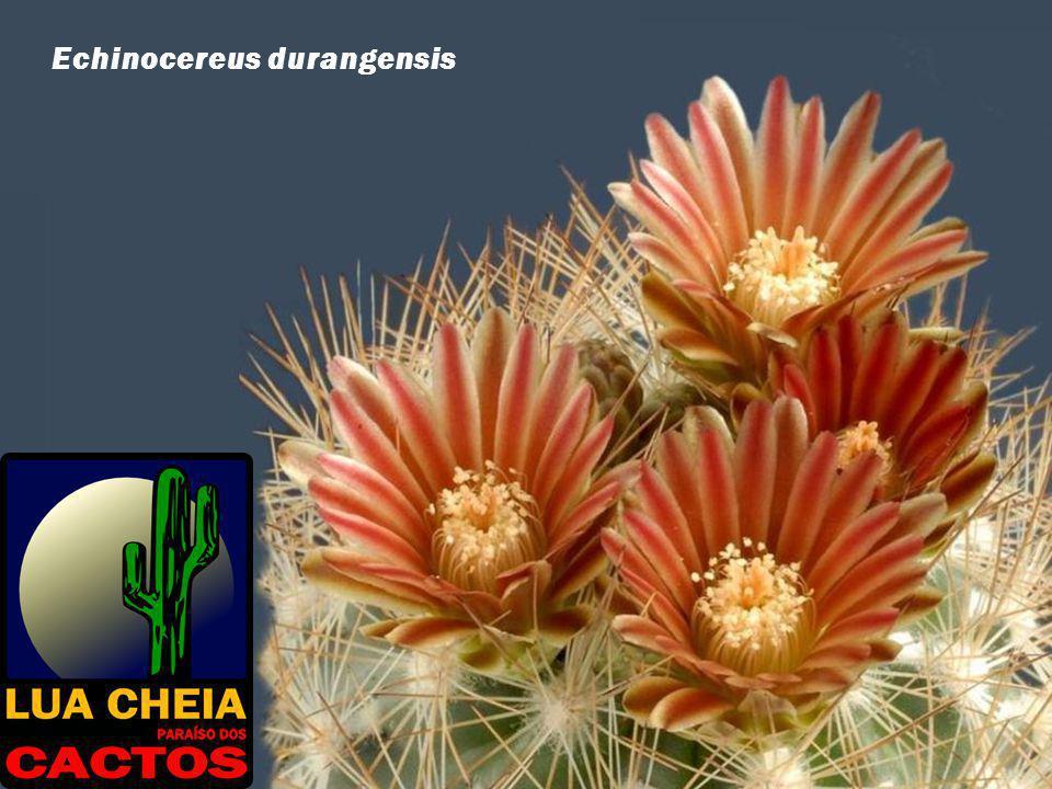 Echinocereus durangensis