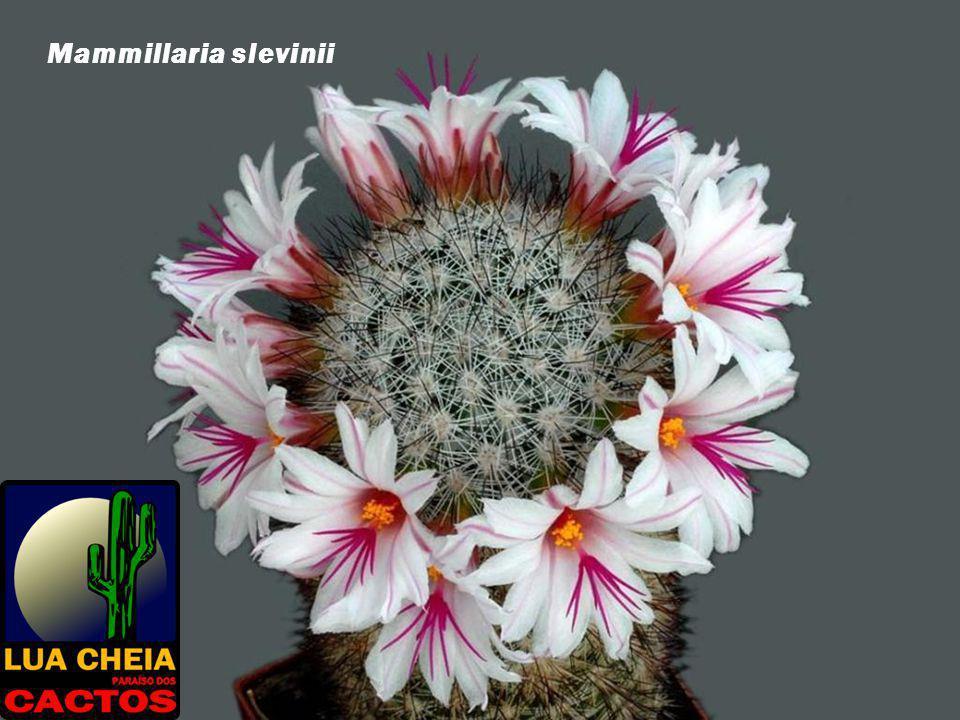 Mammillaria slevinii