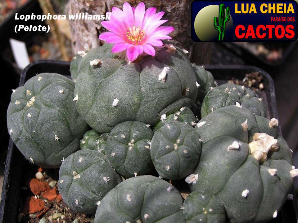 Lophophora williamsii (Peiote)