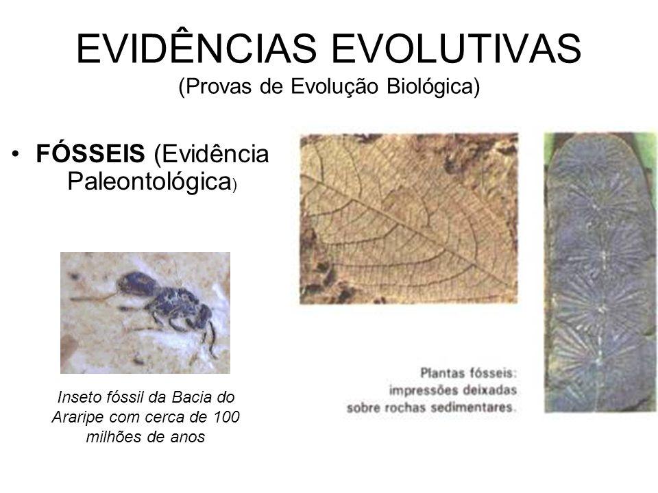 EVIDÊNCIAS EVOLUTIVAS (Provas de Evolução Biológica) •FÓSSEIS (Evidência Paleontológica ) Inseto fóssil da Bacia do Araripe com cerca de 100 milhões d