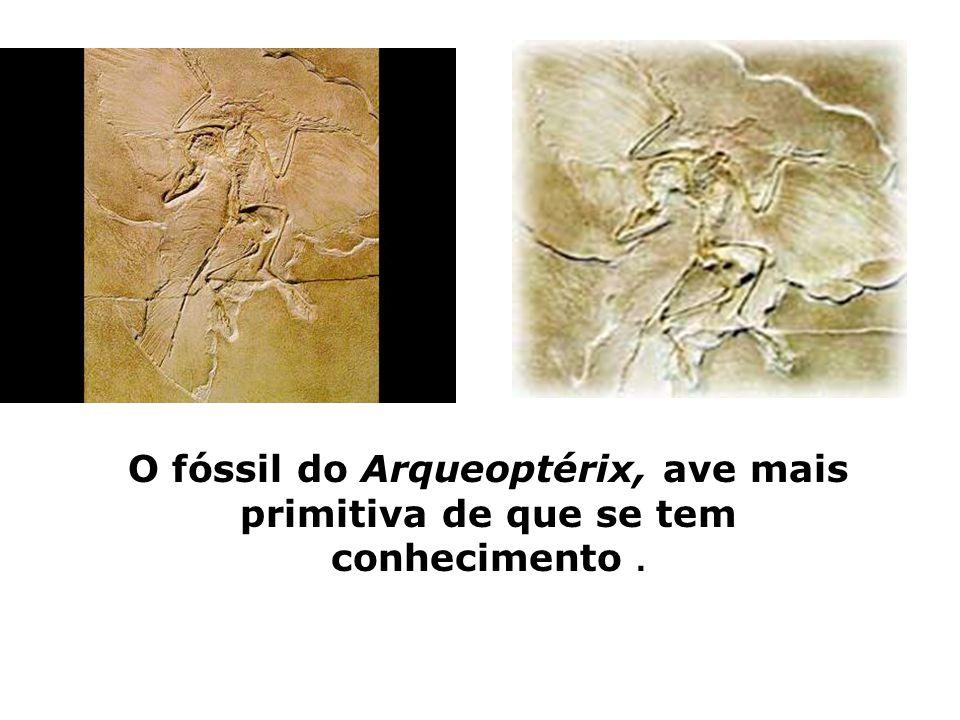 O fóssil do Arqueoptérix, ave mais primitiva de que se tem conhecimento.