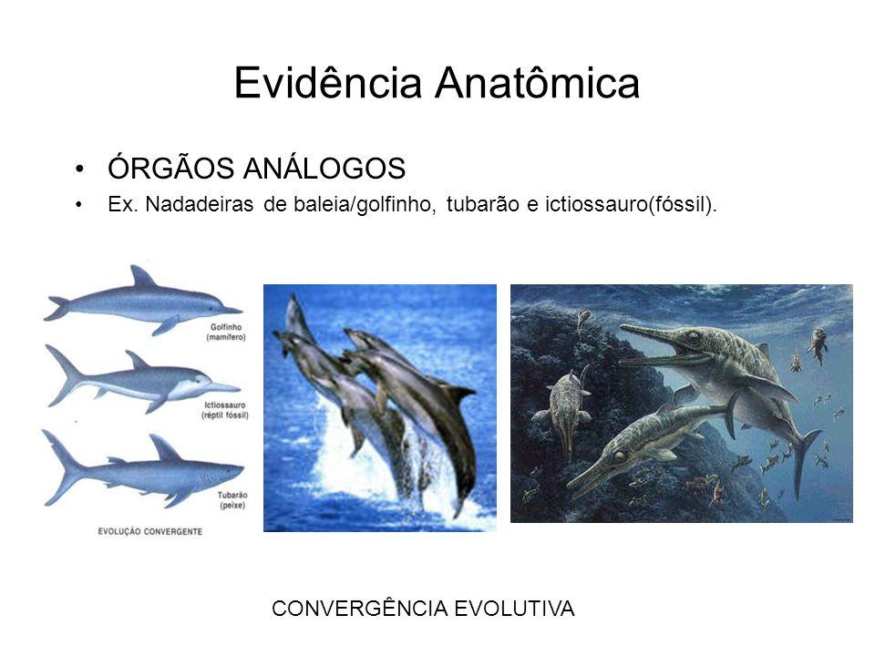 Evidência Anatômica •ÓRGÃOS ANÁLOGOS •Ex. Nadadeiras de baleia/golfinho, tubarão e ictiossauro(fóssil). CONVERGÊNCIA EVOLUTIVA