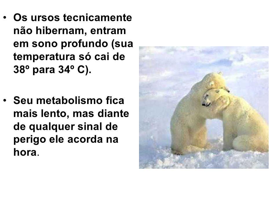 •Os ursos tecnicamente não hibernam, entram em sono profundo (sua temperatura só cai de 38º para 34º C).
