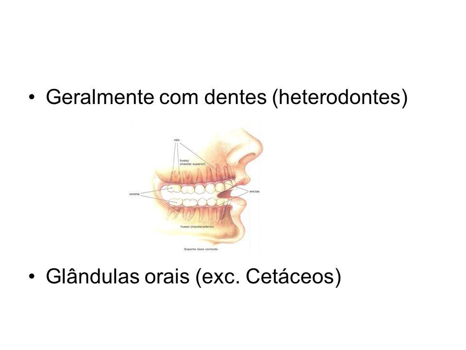 •Geralmente com dentes (heterodontes) •Glândulas orais (exc. Cetáceos)