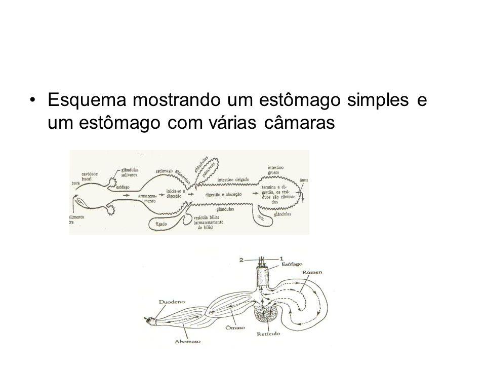 •Esquema mostrando um estômago simples e um estômago com várias câmaras