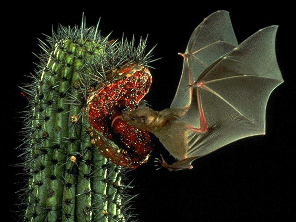 Regulação da Temperatura •São endotérmicos (homeotérmicos) •Animais de clima muito frio ou muito quente (adaptações morfológicas e fisiológicas, migrações, hibernação (proteger do frio), estivação (proteger do calor e seca)) •Esquilos do deserto esfregam saliva no corpo -- Evaporação -- Resfriamento