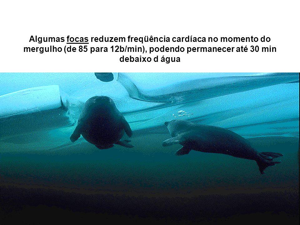 Algumas focas reduzem freqüência cardíaca no momento do mergulho (de 85 para 12b/min), podendo permanecer até 30 min debaixo d água