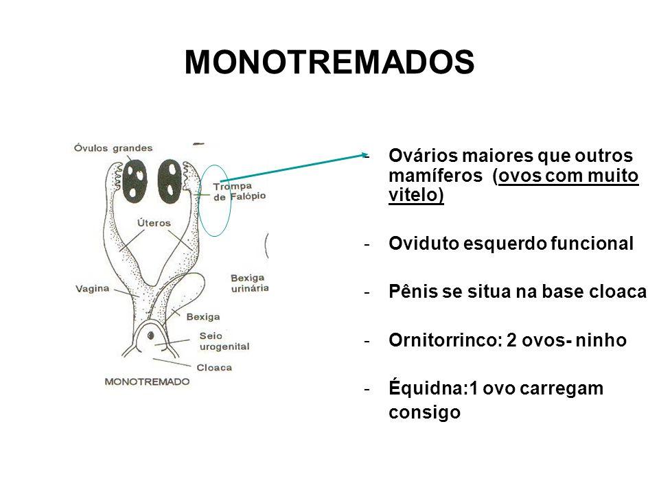 MONOTREMADOS -Ovários maiores que outros mamíferos (ovos com muito vitelo) -Oviduto esquerdo funcional -Pênis se situa na base cloaca -Ornitorrinco: 2 ovos- ninho -Équidna:1 ovo carregam consigo