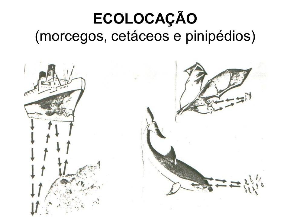 ECOLOCAÇÃO (morcegos, cetáceos e pinipédios)