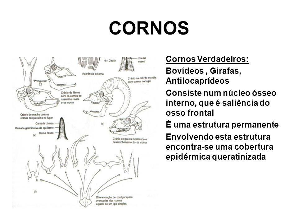 CORNOS •Cornos Verdadeiros: •Bovídeos, Girafas, Antilocaprídeos •Consiste num núcleo ósseo interno, que é saliência do osso frontal •É uma estrutura permanente •Envolvendo esta estrutura encontra-se uma cobertura epidérmica queratinizada