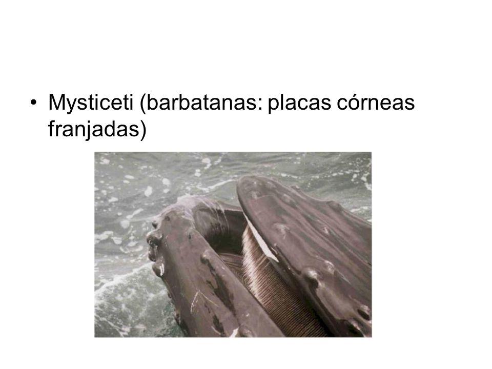 •Mysticeti (barbatanas: placas córneas franjadas)