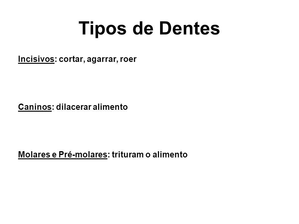 Tipos de Dentes Incisivos: cortar, agarrar, roer Caninos: dilacerar alimento Molares e Pré-molares: trituram o alimento