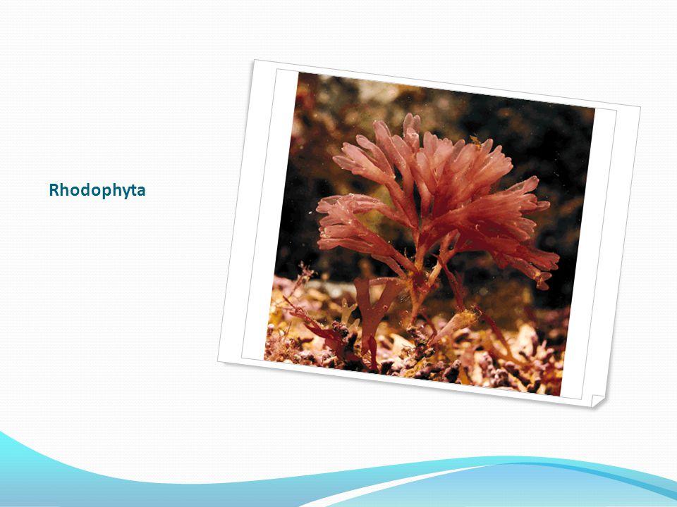 Rhodophyta