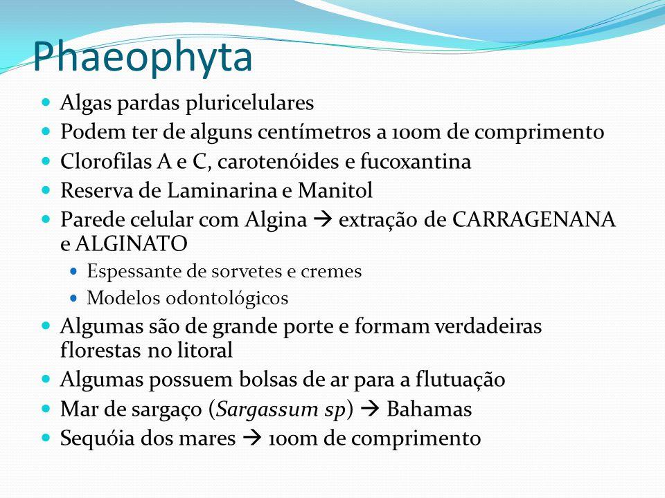Phaeophyta  Algas pardas pluricelulares  Podem ter de alguns centímetros a 100m de comprimento  Clorofilas A e C, carotenóides e fucoxantina  Rese