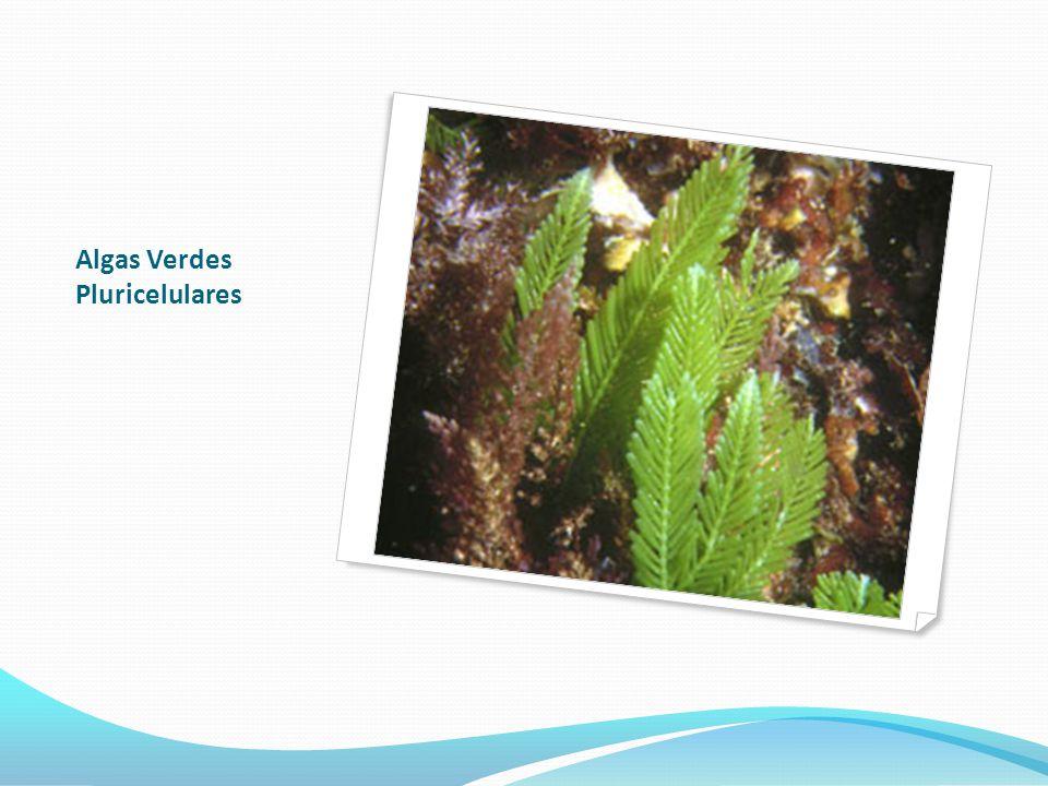 Algas Verdes pluricelulares Alface do mar