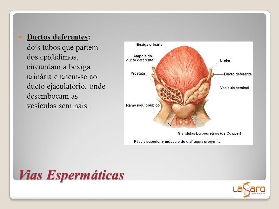 Vias Espermáticas  Ductos deferentes: dois tubos que partem dos epidídimos, circundam a bexiga urinária e unem-se ao ducto ejaculatório, onde desembo