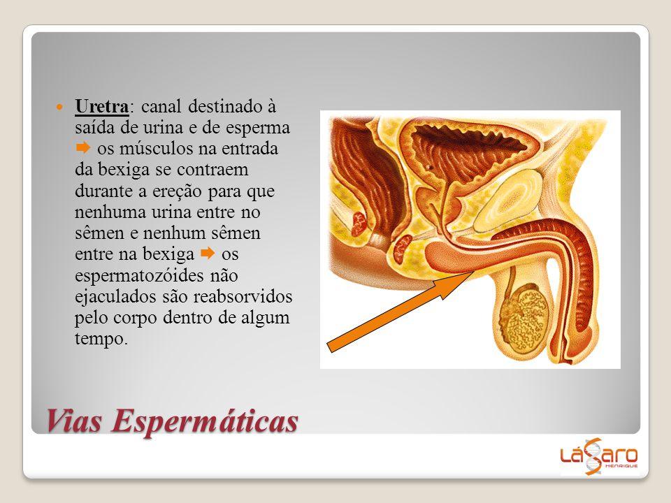 Vias Espermáticas  Uretra: canal destinado à saída de urina e de esperma  os músculos na entrada da bexiga se contraem durante a ereção para que nen