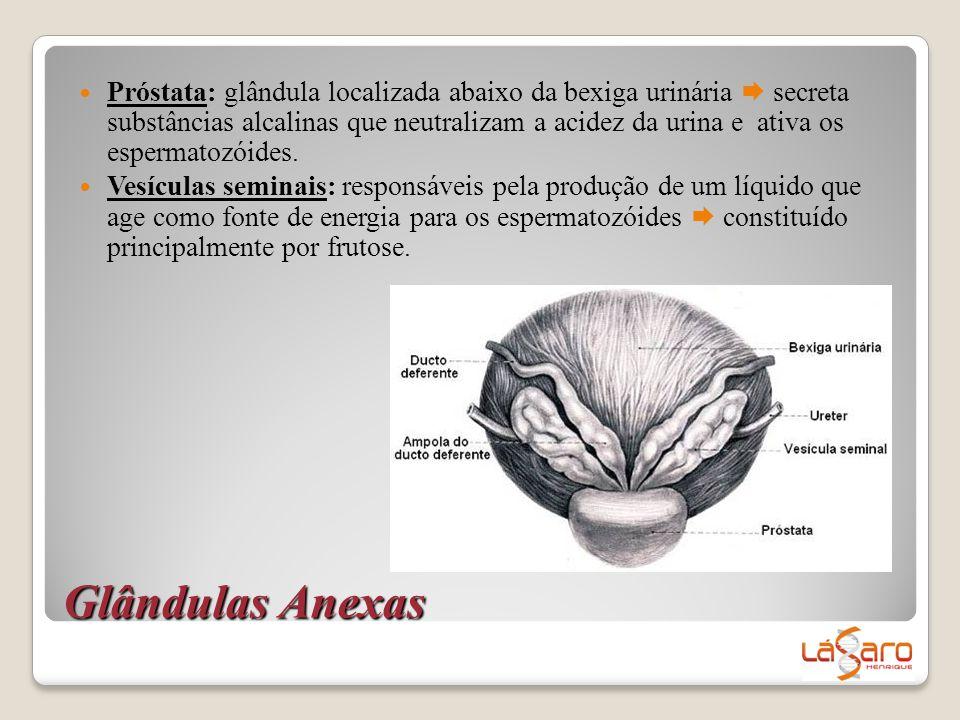 Glândulas Anexas  Próstata: glândula localizada abaixo da bexiga urinária  secreta substâncias alcalinas que neutralizam a acidez da urina e ativa o