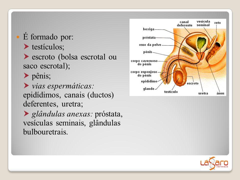  É formado por:  testículos;  escroto (bolsa escrotal ou saco escrotal);  pênis;  vias espermáticas: epidídimos, canais (ductos) deferentes, uret