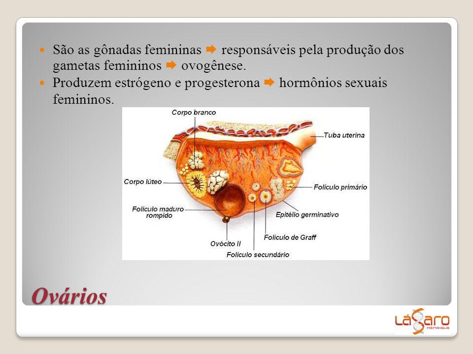  São as gônadas femininas  responsáveis pela produção dos gametas femininos  ovogênese.  Produzem estrógeno e progesterona  hormônios sexuais fem